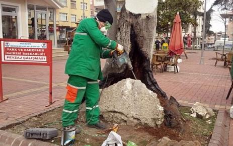 120 yıllık ağac tedavi edildi