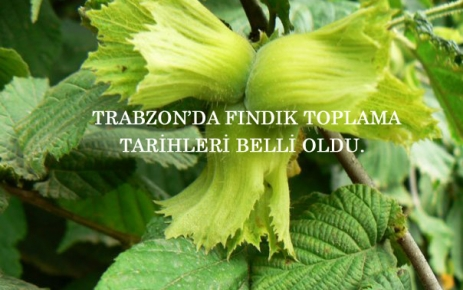 Trabzonda Fındık toplama tarihleri belirlendi.